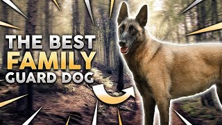 Belgian Malinois! The Best Family Guard Dog!?
