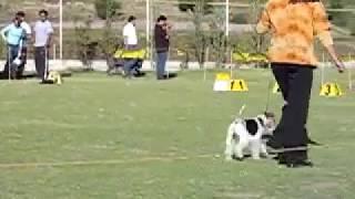 Regional Dog Show Arequipa - Peru, Group 3 (Terrier), Judge Ramón P...