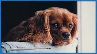 Como acabar com a Ansiedade de Separação do seu Pet