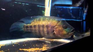 what i feed my monster parachromis dovii in 240 gallon tank