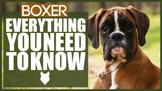 BOXER 101! Everything You Need TO Know About The Boxer Dog