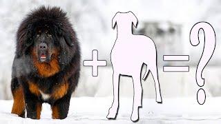 Tibetan Mastiff Mix / Top 7 Unreal Tibetan Mastiff Mixes Cross Breed Dogs