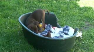 Morgans' Kelpie Pups (zico X Zuma 2010)