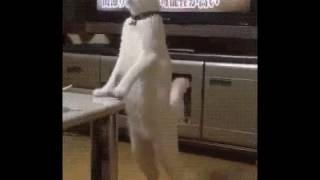 Не стоило учить кота ходить