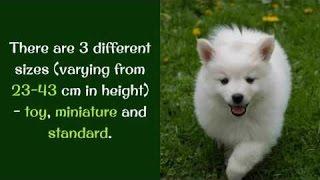 衝撃 - おもしろ - アメリカンエスキモー犬約13の興味深い事実 衝撃 - ...
