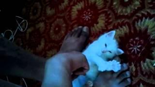 самый белый котенок