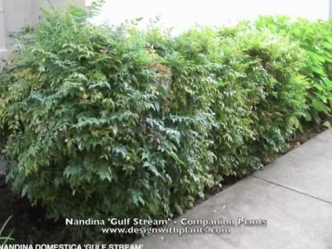 Nandina 'Gulf Stream' - Companion Plants