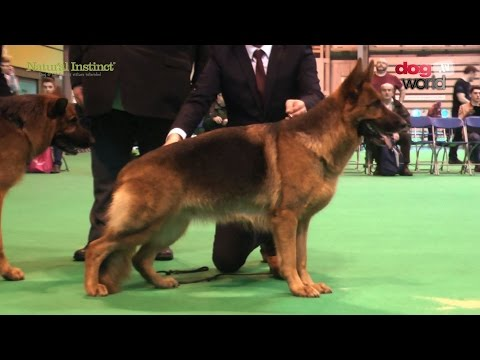 Crufts 2017 - German Shepherd Dog - Best of Breed - Ch Veneze Gucci