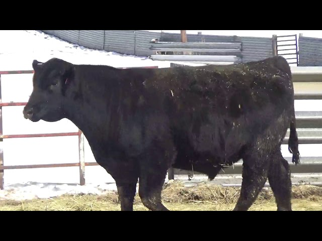 Connealy Angus Lot 461