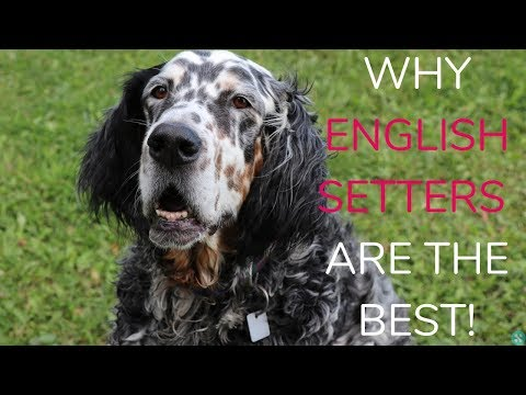 Why English Setters Are The Best!