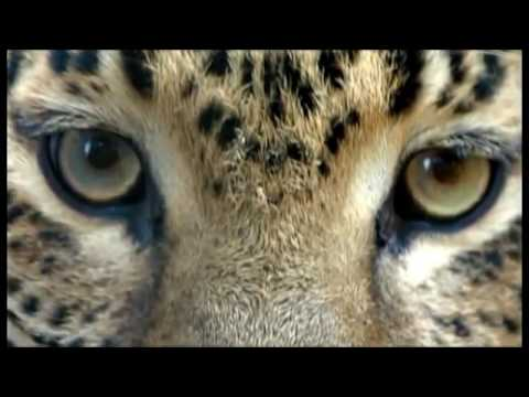Leopard Documentary - THROWING OUT A CHALLENGE AMUR LEOPARD