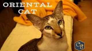 Oriental Shorthair Cat in detail