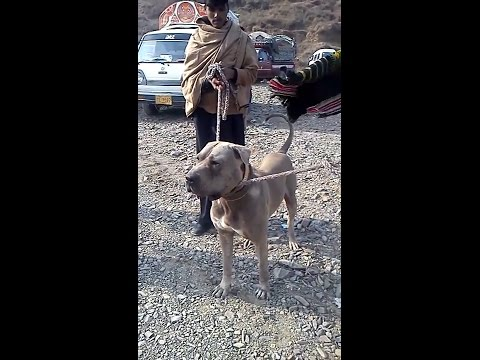 Massive Pure Bully Dog ( 100% Original And Pure ) || Pure Bully Kutta