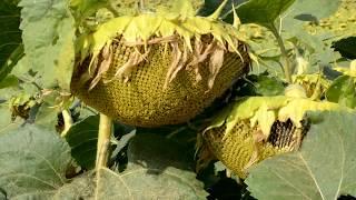 PressLife: Полевой семинар по повышению урожайности подсолнечника