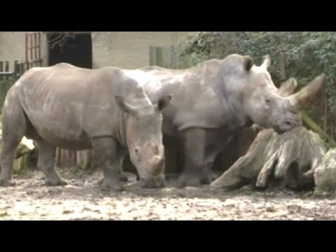 White Rhinoceros Poached Inside French Zoo! Shot Killed Horn Stolen With A Chainsaw!