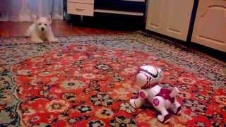 Вест хайленд уайт терьер и собака-робот :D