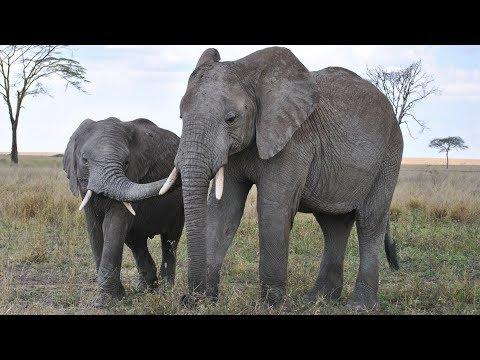 Elephants -  Largest Land Mammals 🌿🐘🐘🐘