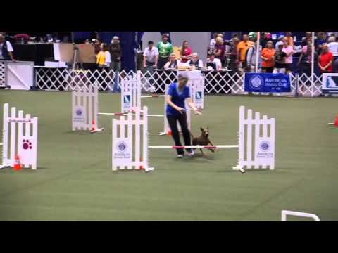 Irish Terrier Harper  at the 2015 AKC Agility Invitational