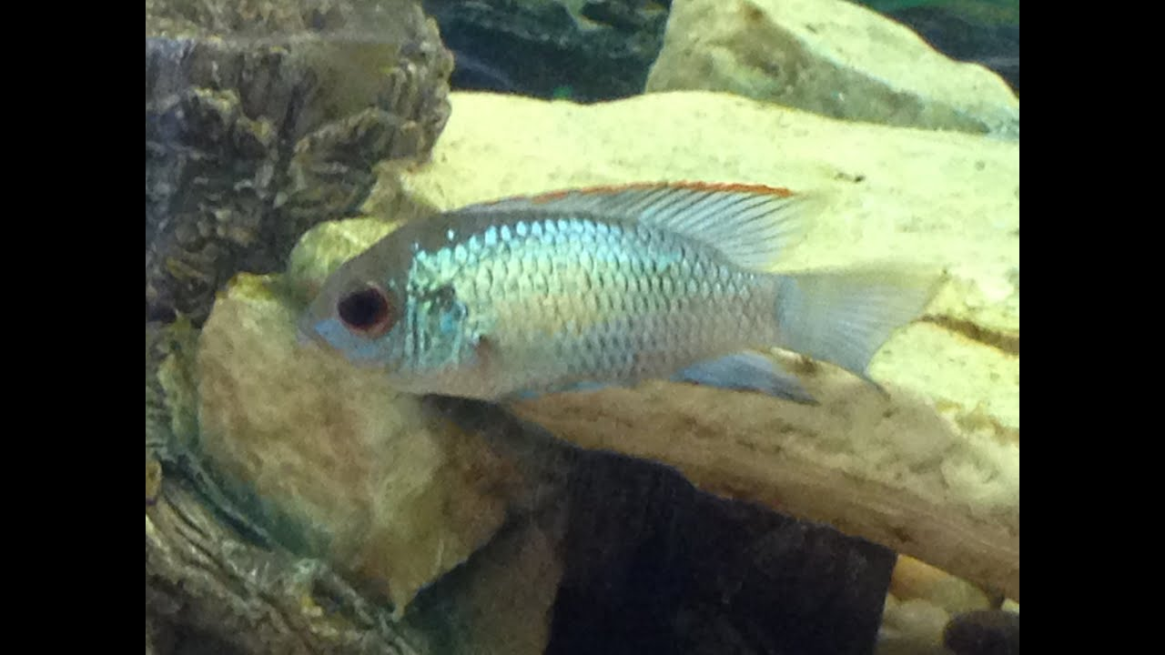 New Electric Blue Acara And Update On The Native Tank