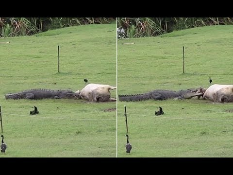Huge crocodile devours a d ead cow on rural property