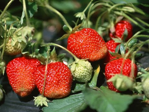 How to Grow Strawberries Organically - Complete Growing Guide