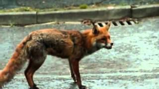 Собака защищает кота от лисицы.