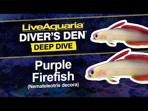 LiveAquaria® Diver's Den® Deep Dive: Purple Firefish (Nemateleotris Decora)