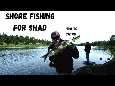 Willamette River, OR | Catching Shad From Shore | + How To Tutorial