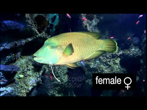 Maori Wrasse Changing From Female To Male...