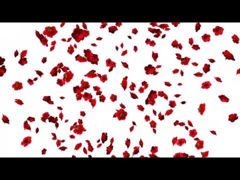 Falling Flowers Animation-Roses White Screen Background thumbnail