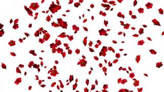 Falling Flowers Animation-Roses White Screen Background
