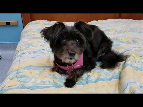 Peppermint, a female Poodle mix at Muttville
