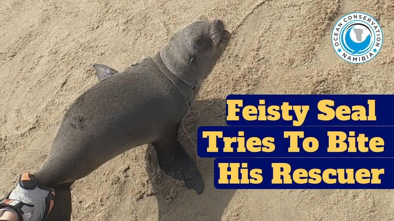 Feisty Seal Tries to Bite His Rescuer