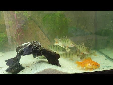 Gold Fish VS Perch In Aquarium