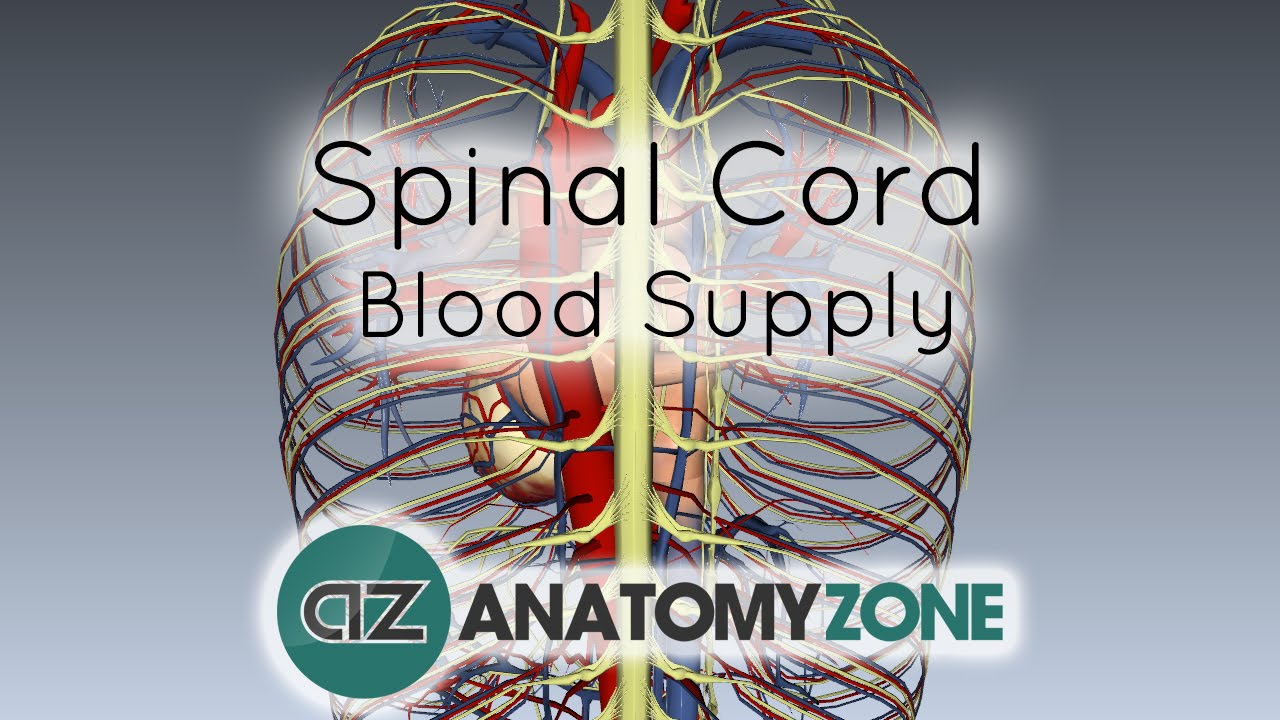 Spinal Cord Anatomy - Blood Supply - 3D Anatomy Tutorial - YouTube