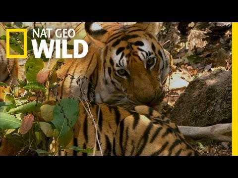When A Tiger Hunts | Secret Life Of Tigers