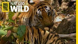 When a Tiger Hunts | Secret Life of Tigers