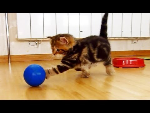Kitten plays football .  Funny Cats and Cute Kitten