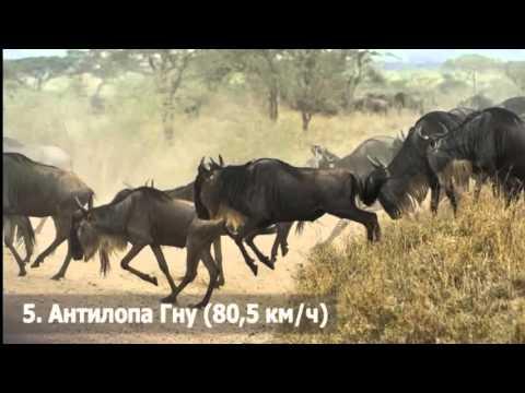 Скачать топ 10 самых быстрых животных в мире