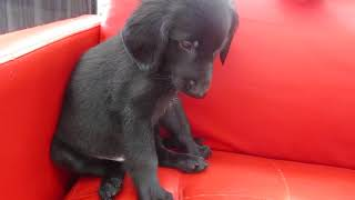 ペットショップ 犬の家 尼崎店 「76706:フラットコーテッドレトリーバー」