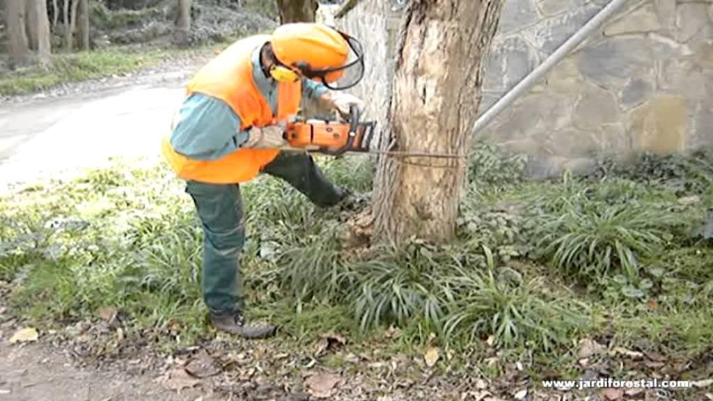 C mo talar un rbol con motosierra trabajos forestales y for Arboles jardineria