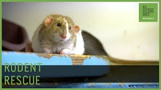 Rescuing Misunderstood Rats And Other Rodents