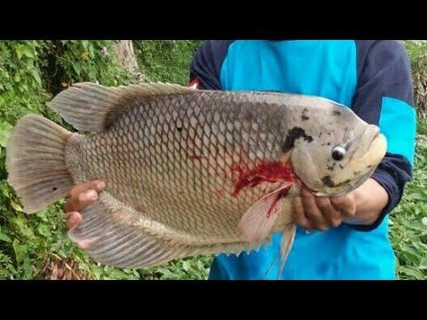 Setu Rawa Kalong Depok, Sensasi Mancing Ikan Gurame #1 Berat 5 Kg !!!!