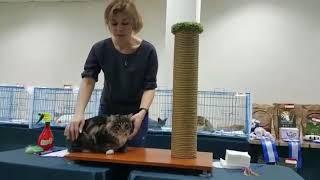 Норвежская лесная кошечка Polly On Fashion Peak, выставка кошек, Красноярск