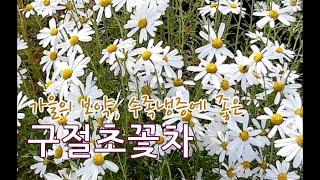 구절초 꽃차 만들기 수족냉증 여성들에게 좋은 선모초꽃차