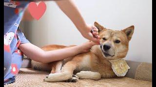 양치질을 싫어하는 강아지가 얌전해진 이유 | 진돗개 흥…