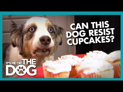 Can Stains 'The Cupcake Dog' Resist a Plate of Cupcakes? | It's Me or The Dog