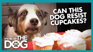 Can Stains 'The Cupcake Dog' Resist a Plate of Cupcakes?   It's Me or The Dog