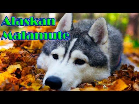 Great singing of Alaskan Malamute. Compilation - 1