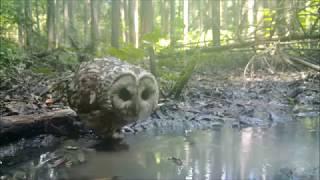 野生のフクロウの水浴びをトレイルカメラで撮影。 同日の日中の間に3回...